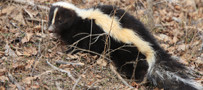 skunk removal for Toronto businesses and homeowners