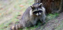 Have Raccoons Removed from your Toronto Home